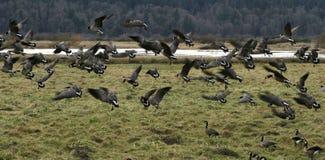 Migración canadiense de los gansos foto de archivo libre de regalías