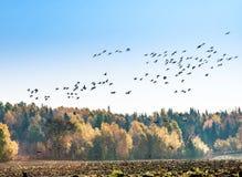 Migración canadiense de los gansos Fotos de archivo