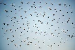 Migración de Burd foto de archivo
