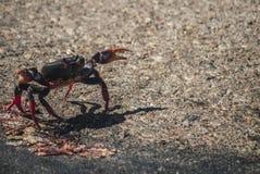 Migración de cangrejos en Cuba Imágenes de archivo libres de regalías