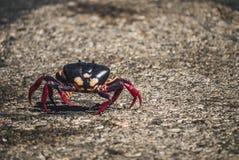Migración de cangrejos en Cuba Fotografía de archivo libre de regalías