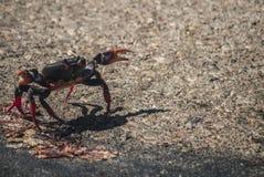 Migración de cangrejos en Cuba Fotos de archivo libres de regalías