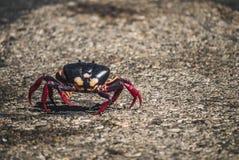 Migración de cangrejos en Cuba Imagenes de archivo
