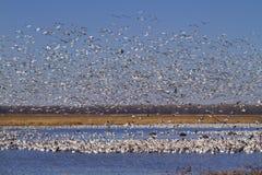 Migración de la caída de los gansos de nieve imagenes de archivo