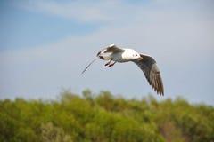 Migración de la gaviota Imagenes de archivo