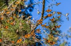 Migración de la mariposa de monarca imagen de archivo