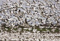Migración de los gansos de nieve Imagen de archivo