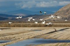 Migración de los gansos de nieve imagen de archivo libre de regalías