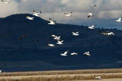 Migración de los gansos de nieve fotos de archivo libres de regalías