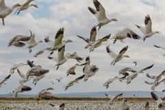 Migración de los gansos de nieve Fotos de archivo