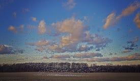Migración de pájaro de la nieve Imagen de archivo libre de regalías