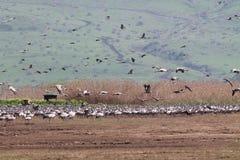 Migración de pájaros en el hula Israel del norte del lago Fotos de archivo