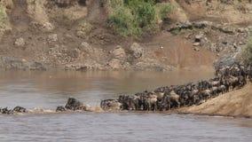 Migración del ñu almacen de video