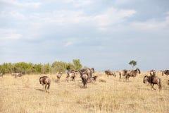 Migración del ñu Imagen de archivo libre de regalías