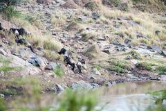 Migración del ñu Fotografía de archivo