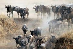 Migración del ñu Foto de archivo libre de regalías