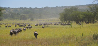 Migración del ñu del búfalo en los llanos de África Foto de archivo libre de regalías