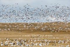 Migración del ganso de la caída fotos de archivo libres de regalías