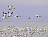 Migración del ganso de nieve Fotografía de archivo