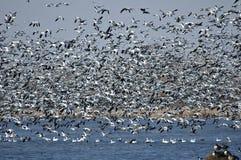 Migración del ganso de nieve Imagen de archivo