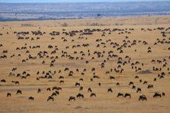 Migración del Wildebeest Imagen de archivo libre de regalías