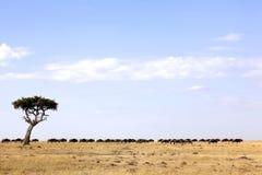 Migración del Wildebeest de Mara del Masai Imagen de archivo
