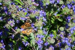 Migración pintada California de la mariposa de la señora foto de archivo libre de regalías