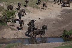 Migración Wildebeast Imágenes de archivo libres de regalías