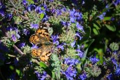 Migraci?n pintada California de la mariposa de la se?ora imagenes de archivo