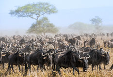 Migración del ñu La manada de los ant?lopes de la migraci?n va en sabana polvorienta Los ñus, también llamados los ñus o wildebai Foto de archivo libre de regalías