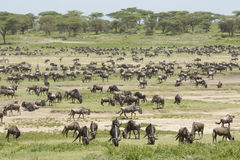Migracj stada w Ndutu terenie, Tanzania Fotografia Stock