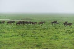 Migracja gnu Fotografia Stock