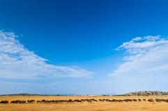 Migracja wildebeests obrazy royalty free