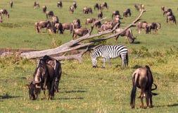 Migracja zwierzęta w sawannie Kenja africa Obrazy Stock