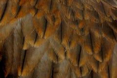 Migrans di Milvus dell'aquilone della paria del nibbio Immagine Stock