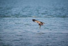 Migrans Milvus черного змея Стоковая Фотография RF
