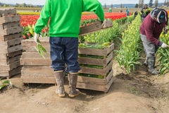 Migrant Agricultural Workers Picking Tulips. MOUNT VERNON, WA - APR 10, 2014: Hispanic migrant workers picking flowers and stacking them in pallets in tulip stock images