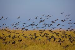 Migrant birds Royalty Free Stock Photo