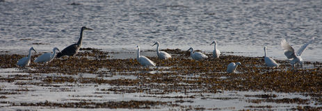 Migrant Birds on the Inland Sea Royalty Free Stock Photo