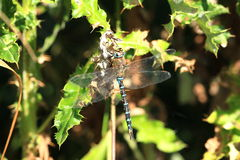 Migrant hawker. A view of a migrant hawker dragonfly on a holly twig Royalty Free Stock Images