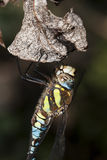 Migrant Hawker Stock Image