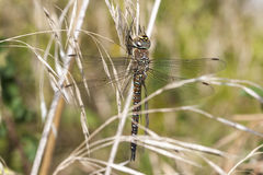 Migrant Hawker Royalty Free Stock Photography