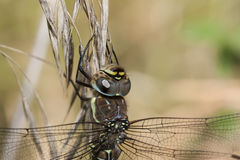 Migrant Hawker Royalty Free Stock Image