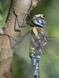 Migrant hawker, Aeshna mixta Royalty Free Stock Images