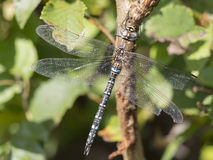 Migrant hawker, Aeshna mixta Stock Image