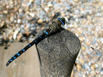 Migrant Hawker (Aeshna mixta) royalty free stock photo