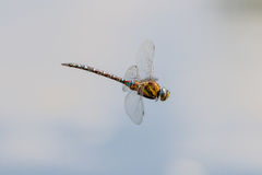 Migrant Hawker Aeshna Mixta Dragonfly in flight Royalty Free Stock Images