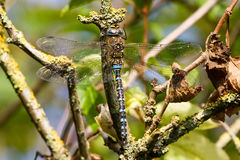 Migrant Hawker Aeshna Mixta resting on branch royalty free stock images