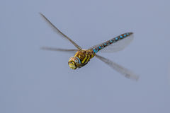 Migrant hawker on blue Royalty Free Stock Images