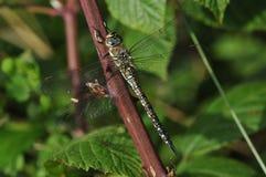 Migrant Hawker Dragonfly. Aeshna mixta Adult Female royalty free stock photo